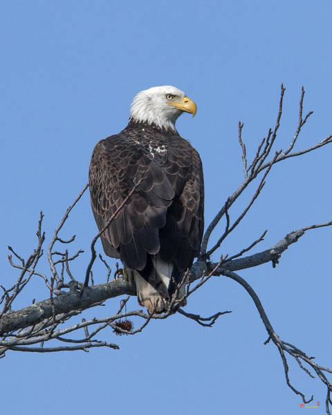 Photograph - Subadult Bald Eagle Drb0254 by Gerry Gantt