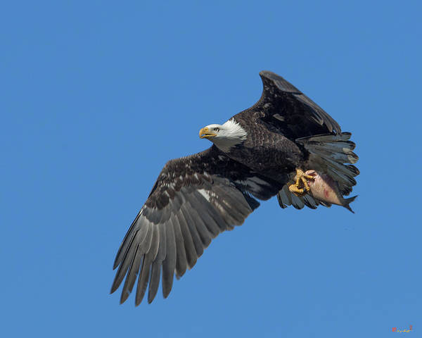 Photograph - Subadult Bald Eagle With A Fish Drb0231 by Gerry Gantt