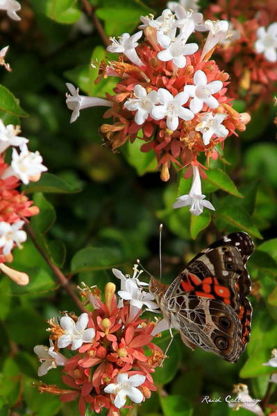 Photograph - Such A Lady Painted Lady Butterfly by Reid Callaway
