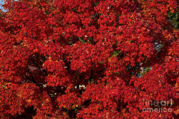 Acer Saccharum Photograph - Sugar Maple In Autumn by Kenneth M. Highfill