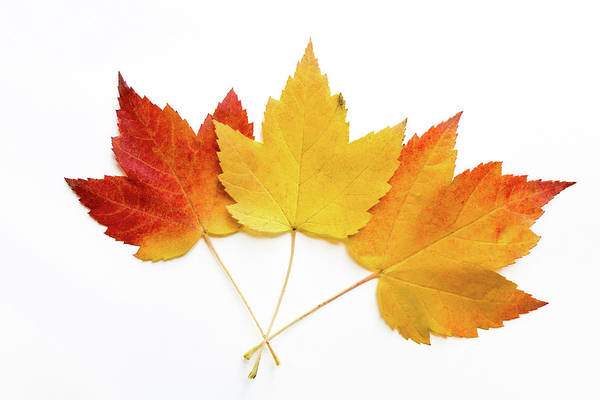 Acer Saccharum Photograph - Sugar Maple Leaves On White Background by Michael Russell