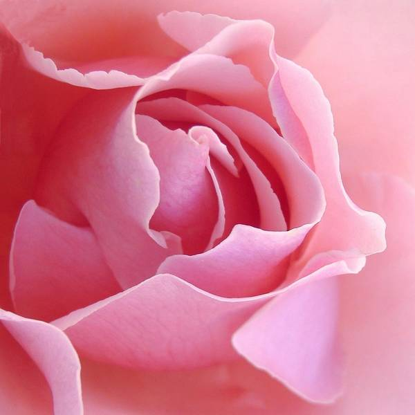 Pink Photograph - Sugar Of Rose by Jacqueline Migell