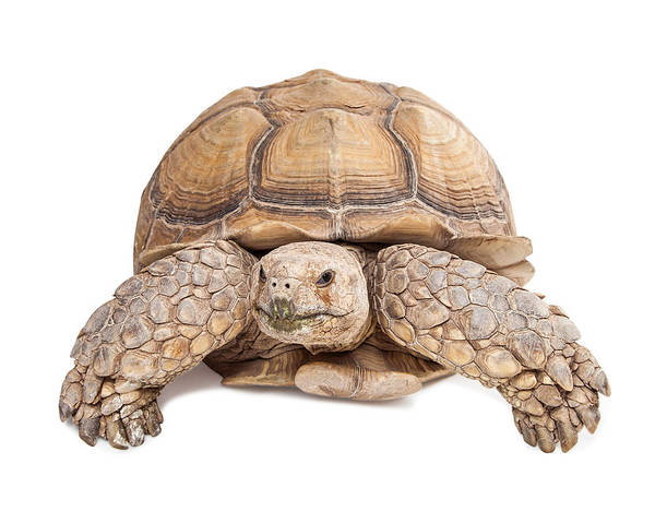 Cutout Wall Art - Photograph - Sulcata Tortoise Crawling Forward by Susan Schmitz