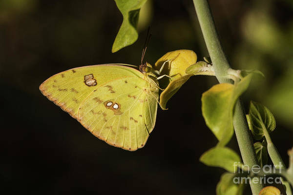 Sulfur Butterfly Wall Art - Photograph - Sulfur As Bright As The Sun  by Ruth Jolly