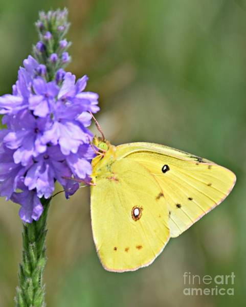 Sulfur Butterfly Wall Art - Photograph - Sulfur Butterfly by Kathy M Krause