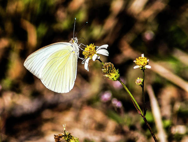 Sulfur Butterfly Wall Art - Photograph - Sulfur Feeder by Norman Johnson