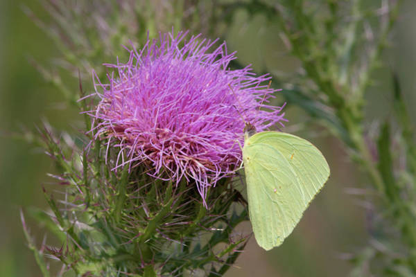 Photograph - Sulphur Butterfly On Thistle by Paul Rebmann
