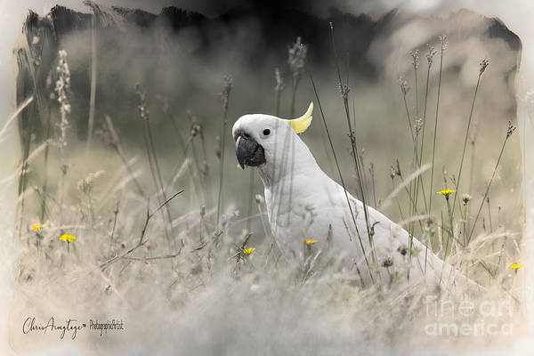 Photograph - Sulphur Crested Cockatoo by Chris Armytage