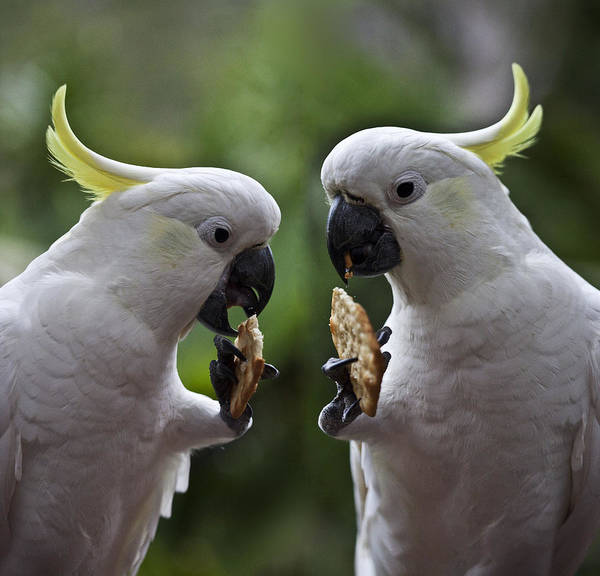 Wall Art - Photograph - Sulphur Crested Cockatoo Pair by Sheila Smart Fine Art Photography