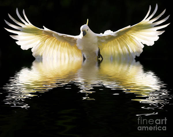 In Flight Photograph - Sulphur Crested Cockatoo Rising by Sheila Smart Fine Art Photography