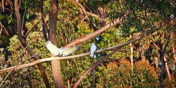 Photograph - Sulphur Crested Cockatoos - Australia by Steven Ralser