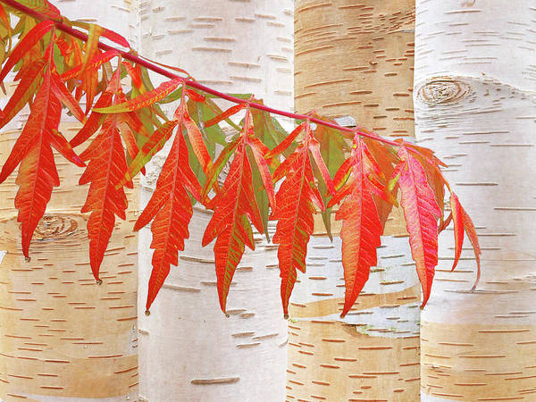 Photograph - Sumac And Birch Trees Autumn Abstract by Gill Billington