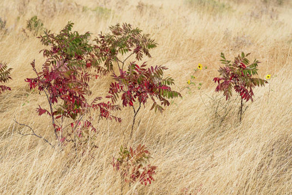 Photograph - Sumac And Sunflower by Robert Potts