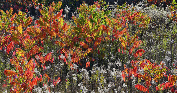 Photograph - Sumac In Full Fall Color In Wisconsin by Ray Mathis