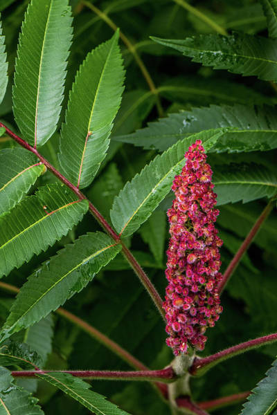 Wall Art - Photograph - Sumac Seeds by Paul Freidlund