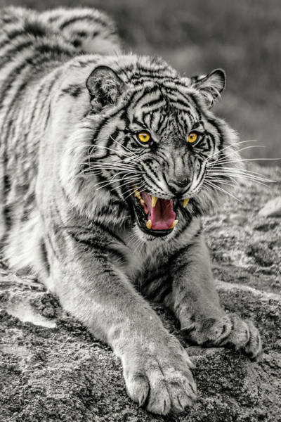 Photograph - Sumatran Tiger Bw W With Selective Color by Rob Green