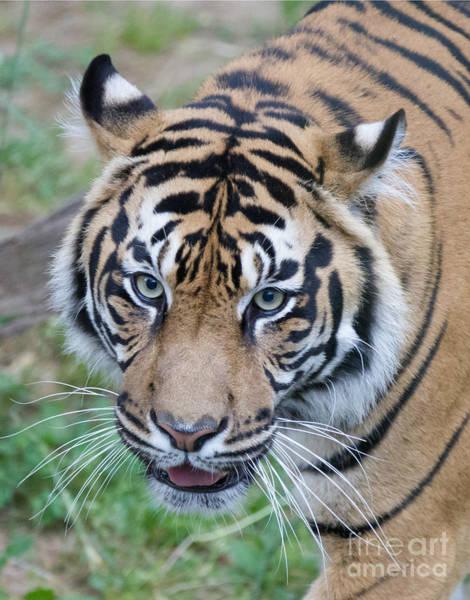 Photograph - Sumatran Tiger by Chris Scroggins