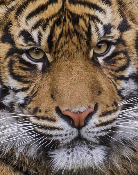 Photograph - Sumatran Tiger Close Up by Wes and Dotty Weber