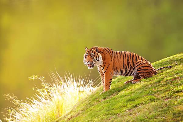 Carnivore Photograph - Sumatran Tiger On Hillside In Morning Light by Susan Schmitz