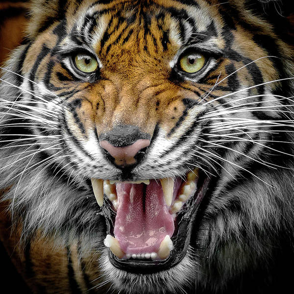 Photograph - Sumatran Tiger Snarl by Wes and Dotty Weber