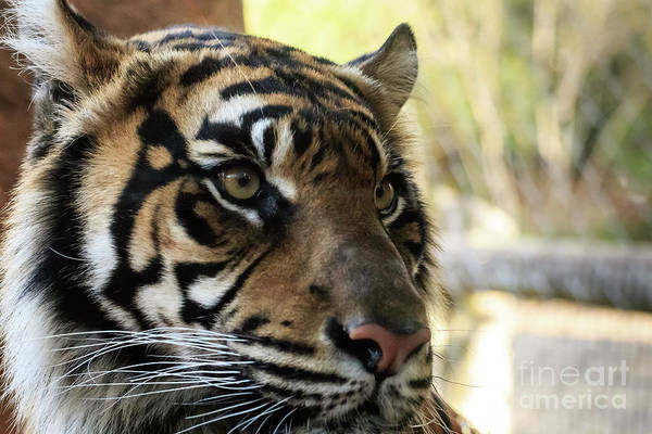 Photograph - Sumatran Tiger Up Close #3 by Richard Smith
