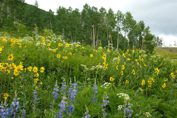 Photograph - Summer Aspen Glade With Wildflowers by Cascade Colors