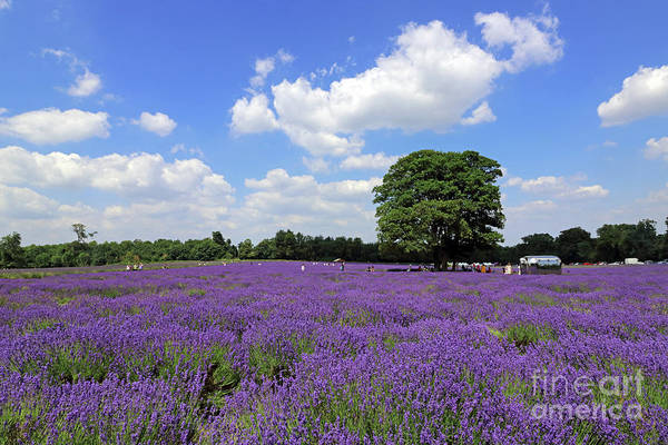 Photograph - Summer At Lavender Fields Surrey by Julia Gavin