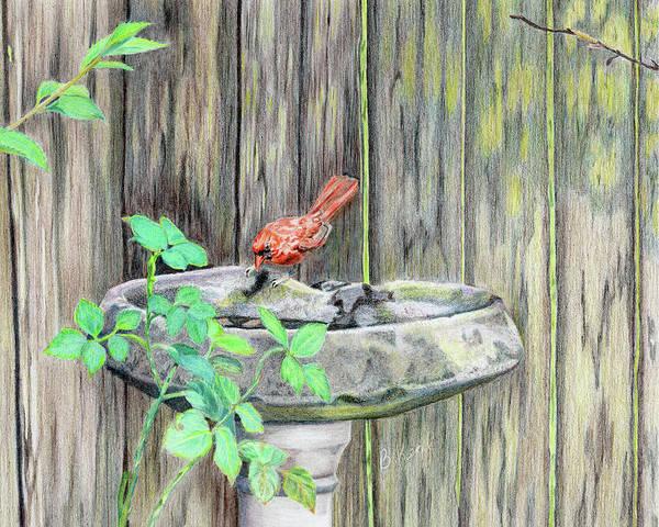 Red Cardinal Drawing - Summer Bird by Belinda Keal