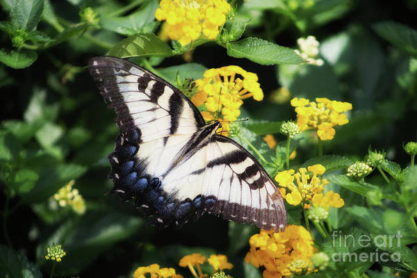 Photograph - Summer Butterfly by Mechala Matthews