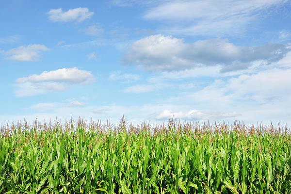 Wall Art - Photograph - Summer Cornfield by Luke Moore