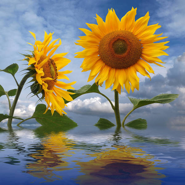 Photograph - Summer Dreams - Sunflower Reflections by Gill Billington