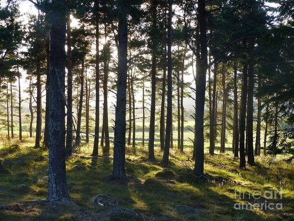 Photograph - Summer Evening In The Forest by Phil Banks