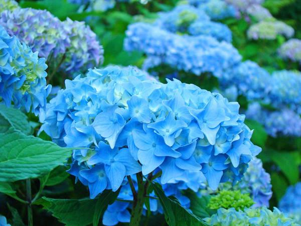 Hydrangea Photograph - Summer Garden Blue Hydrangea Flowers Art Print Baslee by Baslee Troutman