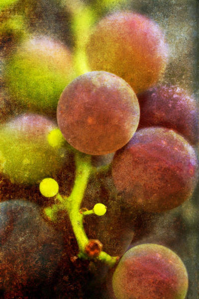 Photograph - Summer Grapes by Tom Singleton