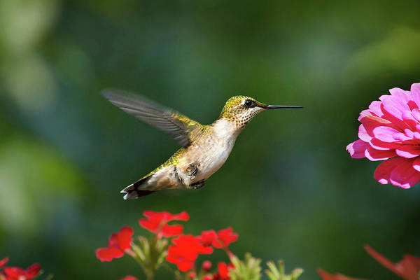 Photograph - Summer Hummingbird by Christina Rollo