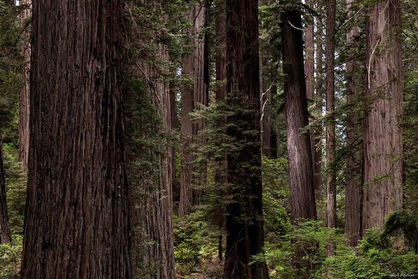 Photograph - Summer In Redwood National Park by Alexander Fedin