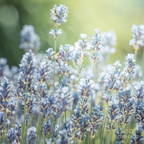Photograph - Summer Lavender by Hannes Cmarits