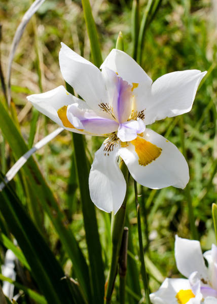 Photograph - Summer Lily by Tom Potter