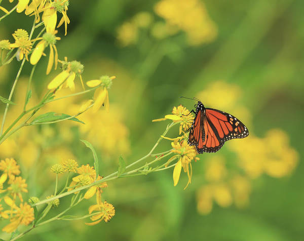 Photograph - Summer Monarch Butterfly by Dan Sproul