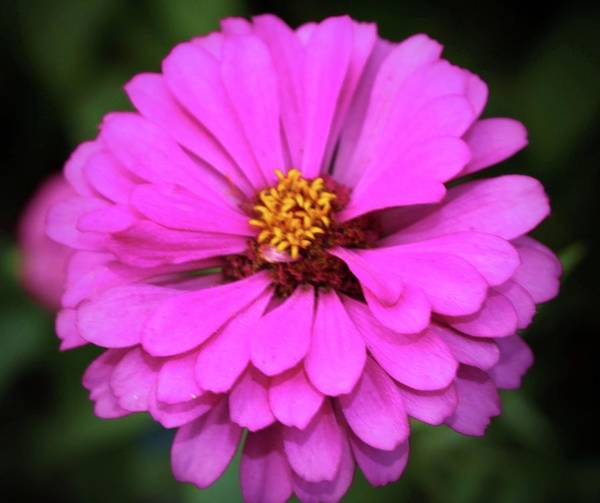 Photograph - Summer Pink Zinnia by Cynthia Guinn