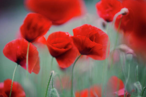 Wall Art - Photograph - Summer Poppy Meadow 2 by Nailia Schwarz