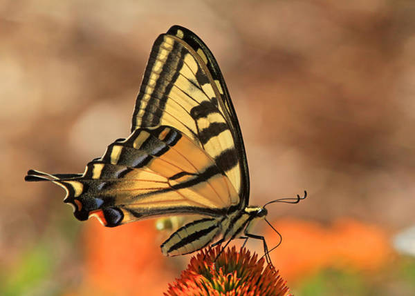 Swallowtail Photograph - Summer Portrait by Donna Kennedy