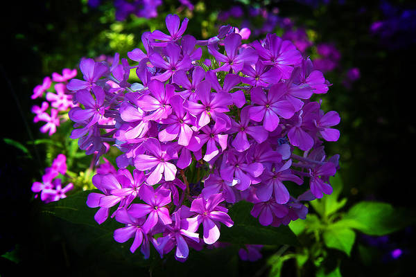 Photograph - Summer Purple by Milena Ilieva