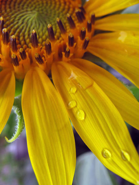 Wall Art - Photograph - Summer Rain On Sunflower by Barbara McDevitt
