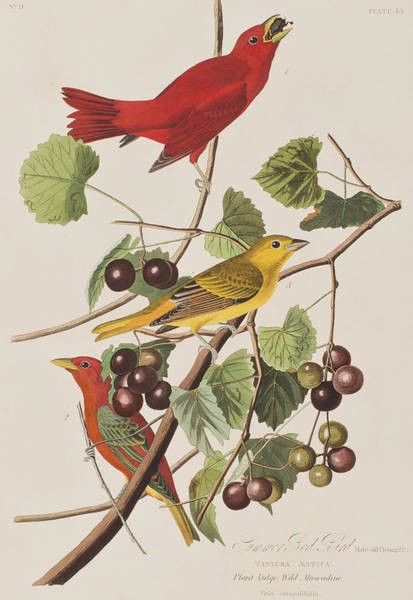 Twig Painting - Summer Red Bird by John James Audubon