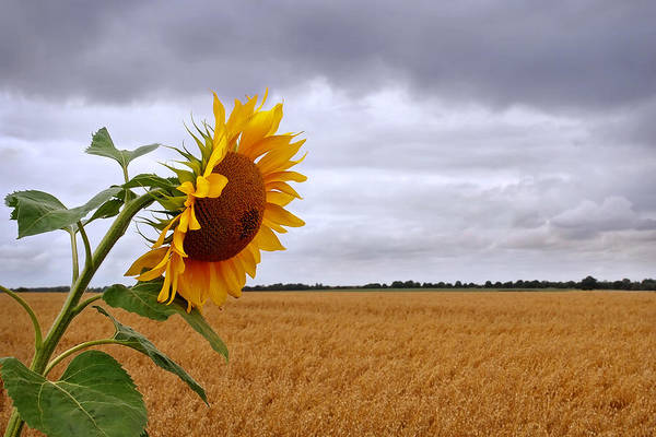 Photograph - Summer Storm - Sunflower At Harvest Time by Gill Billington