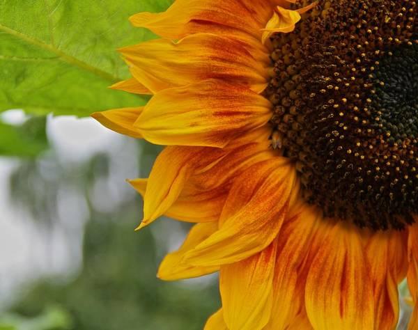 Sunflower Seeds Photograph - Summer Sun by Odd Jeppesen
