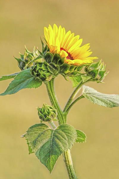 Wall Art - Photograph - Summer Sunflower Floral by Jennie Marie Schell