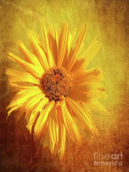 Sunflower Seeds Photograph - Gerbera Daisy by Luther Fine Art