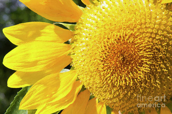 Photograph - Summer Sunflower Painterly by Andee Design